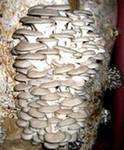 Выращивание грибов вешенка