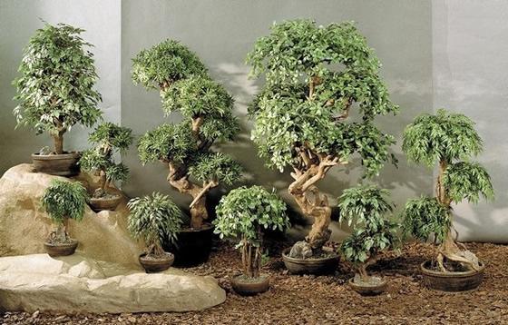 Бонсаи - создание карликовых деревьев
