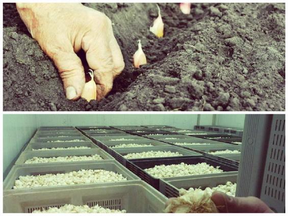 Мини бизнес по выращиванию чеснока на 20 сотках