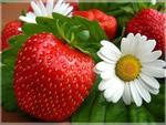 Бизнес – выращивание клубники круглый год