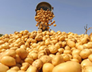 Небольшой бизнес на выращивании картофеля
