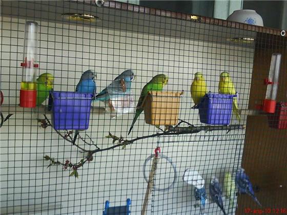 Успешное разведение (размножение ) волнистых попугаев в домашних условиях 37