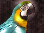 Заработок на разведении попугаев. Бизнес на волнистых попугайчиках
