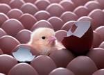 Выращивание цыплят и производство куриных яиц как бизнес