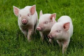 Фермерское - свиноводческое хозяйство