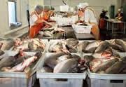 Бизнес переработка рыбы: открываем мини цех