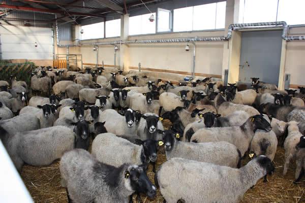 Овцы на мясо в домашних условиях 148