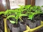 Бизнес по выращиванию рассады и семян в домашних условиях