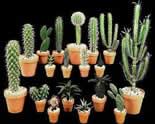 Выращивание кактусов: бизнес у себя дома