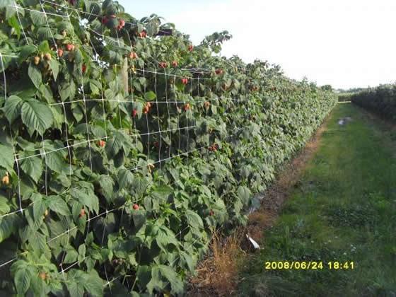 Выращивание малины как бизнес: План и рентабельность 62